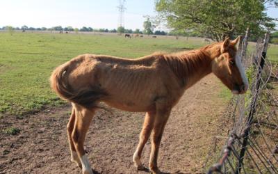 Cerca de 70 caballos fueron decomisados tras una denuncia de crueldad an...