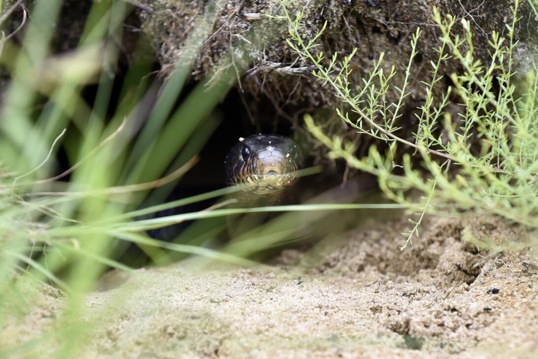 Así se crían las serpientes más largas de EEUU en Florida  Eastern Indig...