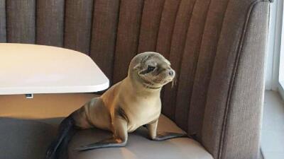 Foca aparece en restaurante de San Diego