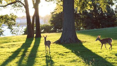 Estados Unidos está llenándose de ciervos y las ciudades no saben qué hacer con ellos
