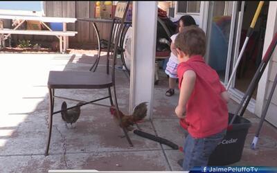 Advierten sobre salmonella en gallos de patio