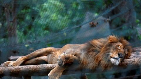 A lion sleeps at Caracas' Caricuao Zoo.