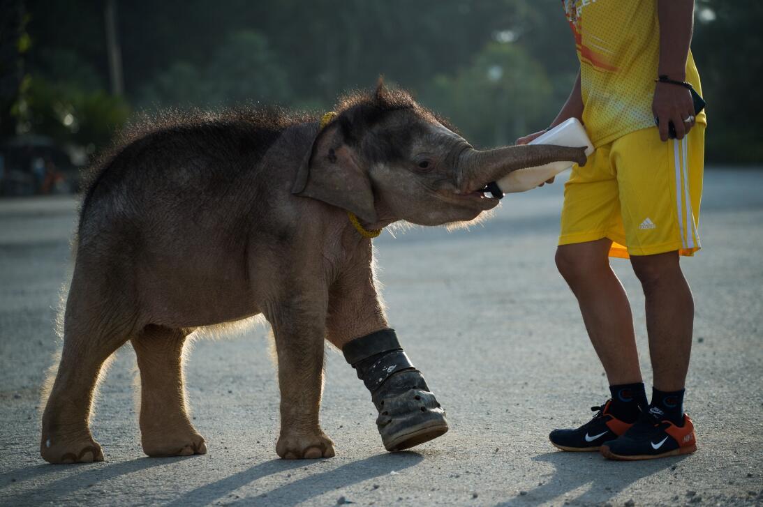 Usan hidroterapia para rehabilitar a bebé elefante en Tailandia GettyIma...