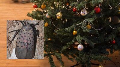 Advierten sobre insecto en árboles de Navidad
