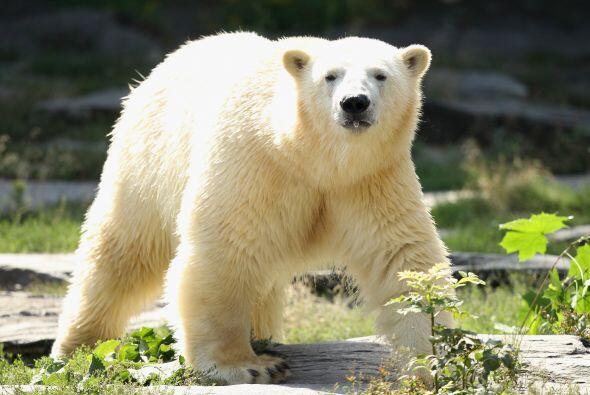 La ley sobre especies amenazadas de los Estados Unidos los clasifica com...