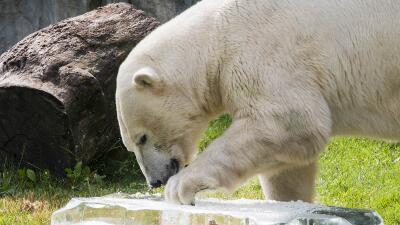 Hasta los animales del Brookfield Zoo se están refrescando del calor