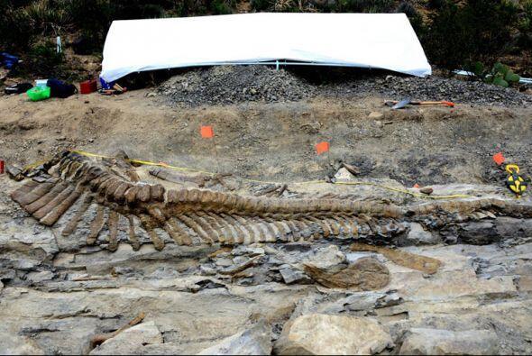 Los paleontólogos quitaron la roca sedimentaria que cubría las vértebras...