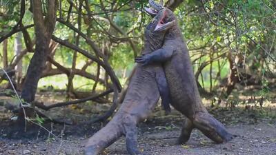 Así se pelean dos dragones de Komodo