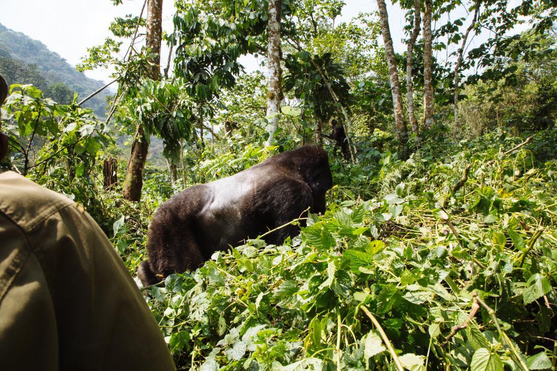 La historia de los últimos gorilas que conviven con los humanos pero que...
