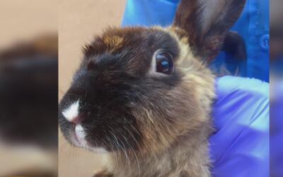 Buscan hogares para unos 125 conejos en Cypress cuyo dueño dice que los...
