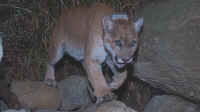 Con la construcción de un puente de vida silvestre en California se pretende salvar la vida de cientos de animales