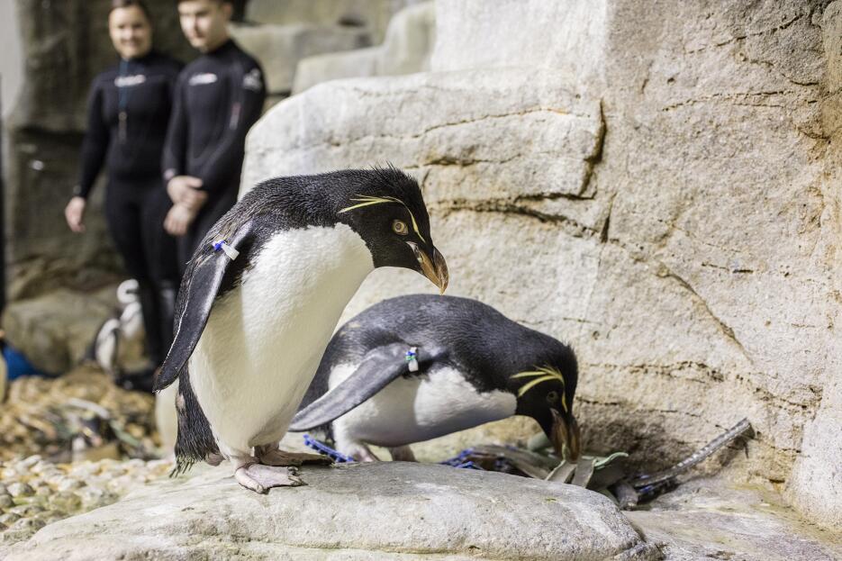 Pingüinos del acuario Shedd ya están preparando sus nidos.