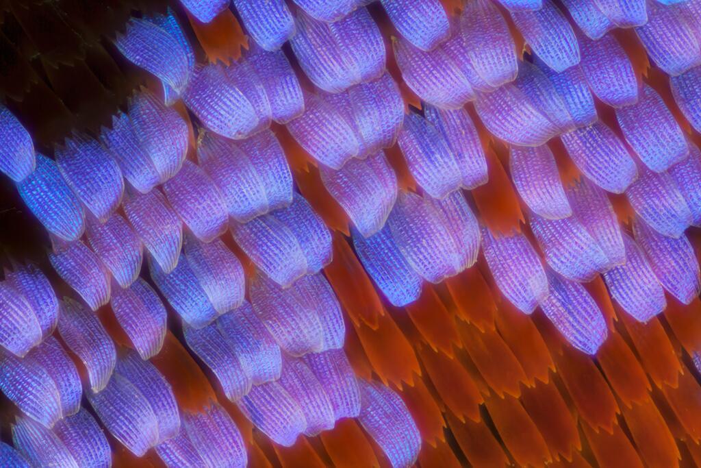Las alas de mariposas como nunca antes las viste Papilio Karna.jpg