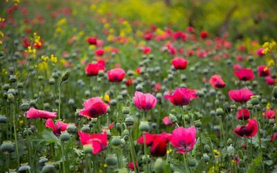 Enormes sembrados de amapola en México confirman la producción de heroín...