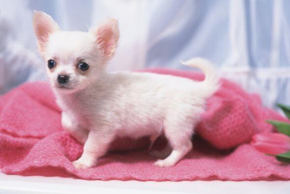 Cuidado con la mollera. Igual que los bebés humanos, los perros Chihuahu...