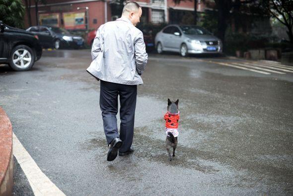 Lo más curioso es que este curioso perrito camina erguido al lado de su...