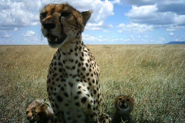 Más de 28,000 voluntarios participaron en el proyecto Snapshot Serengeti...