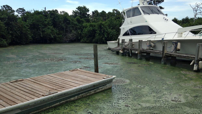 Los brotes de algas, tal como aparecen aquí en Stuart, Florida en julio...