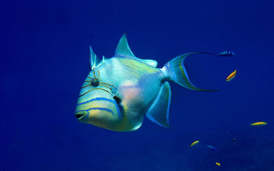 Un magnífico pez Ballesta Reina juvenil. Foto tomada en el arrecife Robe...