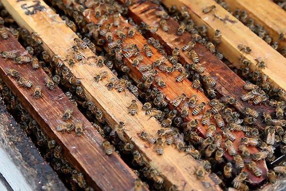 Por su parte, las abejas africanizadas (que son un cruce entre las europ...