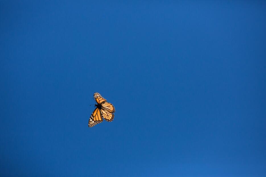 Mariposas monarca: cuando la nieve amenaza su supervivencia JDearing_af_...