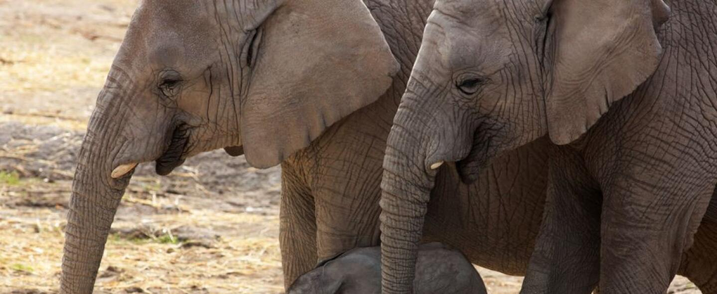 Elefantes africanos.