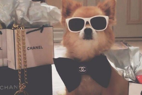 Esta perrita es amante de Coco Chanel.