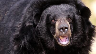 Un oso negro persiguió y mató a un adolescente en Alaska.