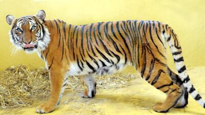 Tigre Da Muerte A Cuidadora En Zoológico De Palm Beach
