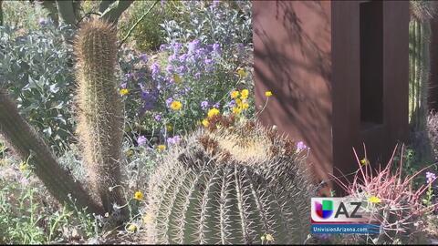 Museo del desierto Arizona-Sonora, una gran opción para aprovechar este...