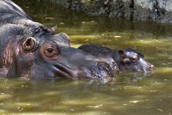 Este pequeño ahora comparte estanque con su madre y dos machos de...