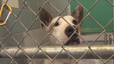Autoridades de Cuidado Animal recomiendan opciones para realizar adopciones seguras de mascotas