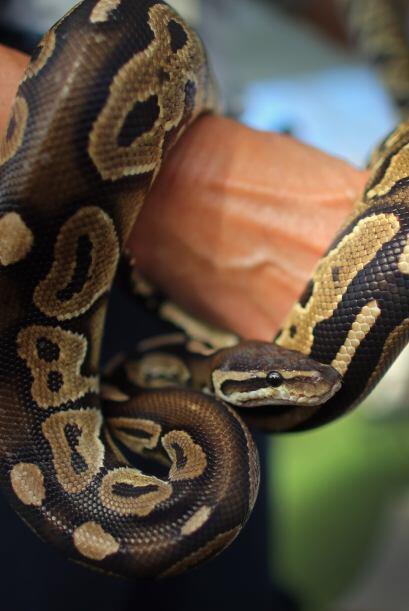Los concursantes deberán entregar todas las serpientes que capturen a lo...