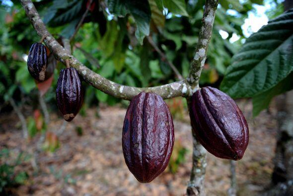 Cacao deriva del nahúa 'cacáhua'. Muchos afirman que es or...