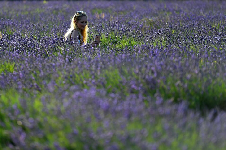 Campos de lavanda, Inglaterra