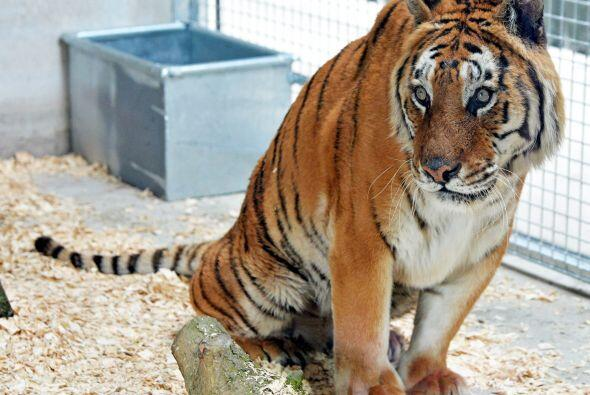 Tango es un hermoso tigre que era maltratado sin compasión por un circo,...