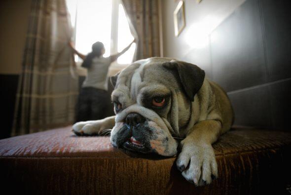 A veces, lo mejor será negociar con el canino antes que quitarle del hoc...