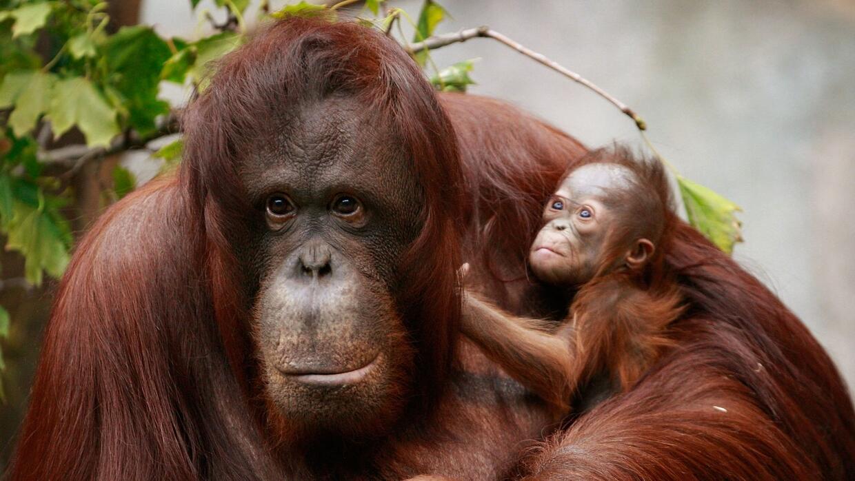 La explotación del aceite de palma amenaza a los orangutanes