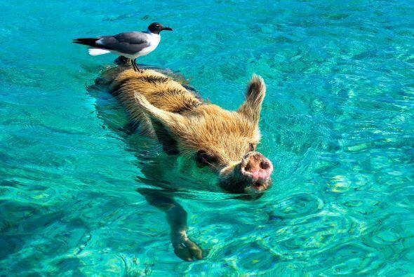 El lugar en el que les encanta nadar fue bautizado como la Playa Cerdo.
